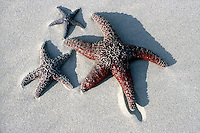 MARINE LIFE<br /> Starfish<br /> Star fish also called sea star, is any marine invertebrate of the class Asteroidea (phylum Echinodermata) having rays, or arms, surrounding an indistinct disk.