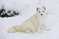 Arctic fox sitting outside of a den site - CA