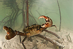 Mudcrab in fighting stance by the mangrove.