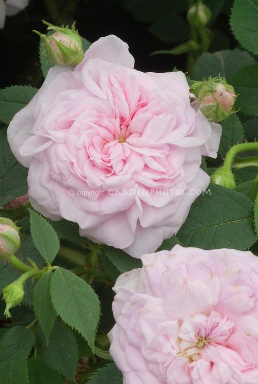 Rose Rosa 'Queen of Denmark' = 'Konigin von Danemark' (19th C) AGM (Alba Rose)