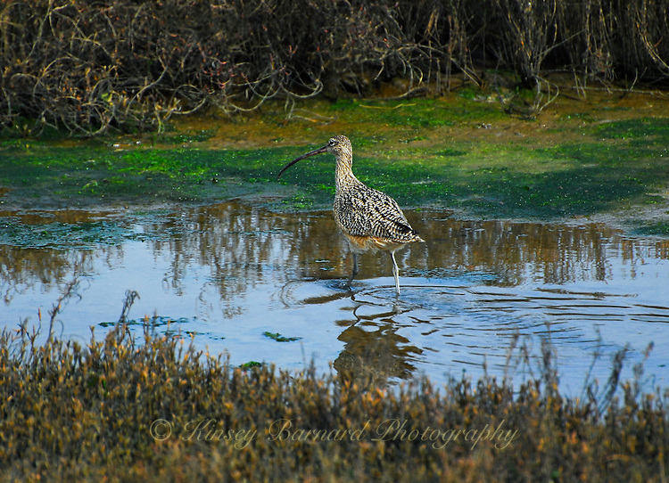 &quot;CALIFORNIA CURLEW&quot;<br /> <br /> California Curlew on the hunt in the marshes near Moss Landing