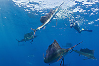 RG42505-D. Atlantic Sailfish (Istiophorus albicans) feeding on Spanish sardines (Sardinella aurita) while underwater photographer documents the action. Gulf of Mexico, Mexico, Caribbean Sea.<br /> Photo Copyright &copy; Brandon Cole. All rights reserved worldwide.  www.brandoncole.com