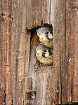 American Kestrels (Falco sparverius), soon-to-fledge nestlings looking out of nesthole in barn, New York, USA.
