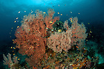 Fan and soft corals abound in the reef. Misool, Raja Ampat, West Papua, Indonesia,  January 2010