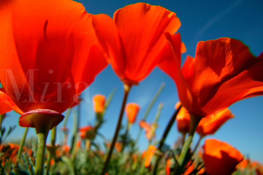 California Poppy (Eschscholzia californica).  Antelope Valley California Poppy Reserve.  Mojave Desert, California...