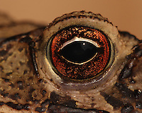 Extreme closeup of the Gulf Coast Toad (Bufo valliceps)