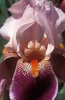 Iris 'Gay Geisha' bearded iris, purple with pink and salmon tints, shrimp orange beard, extreme macro closeup