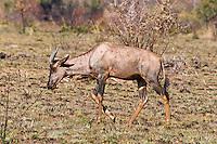 Lichtenstein Hartebeest, Pilanesberg Game Reserve, SA