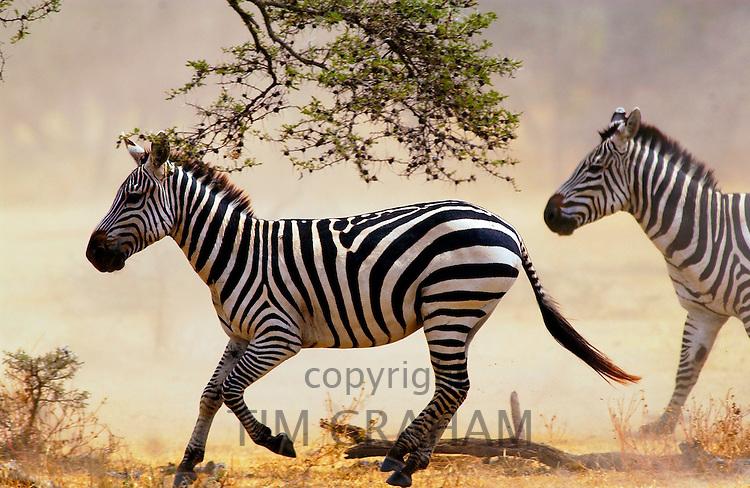 Common Plains Zebra (Grant's) Grumeti, Tanzania