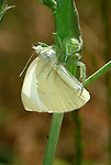 Heriaeus hirtus crab spider, with butterfly prey, feeding, green and white colours, camouflaged on green stem of plant, Provence.France....