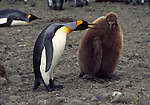 king penguins, adult talking to brown coat