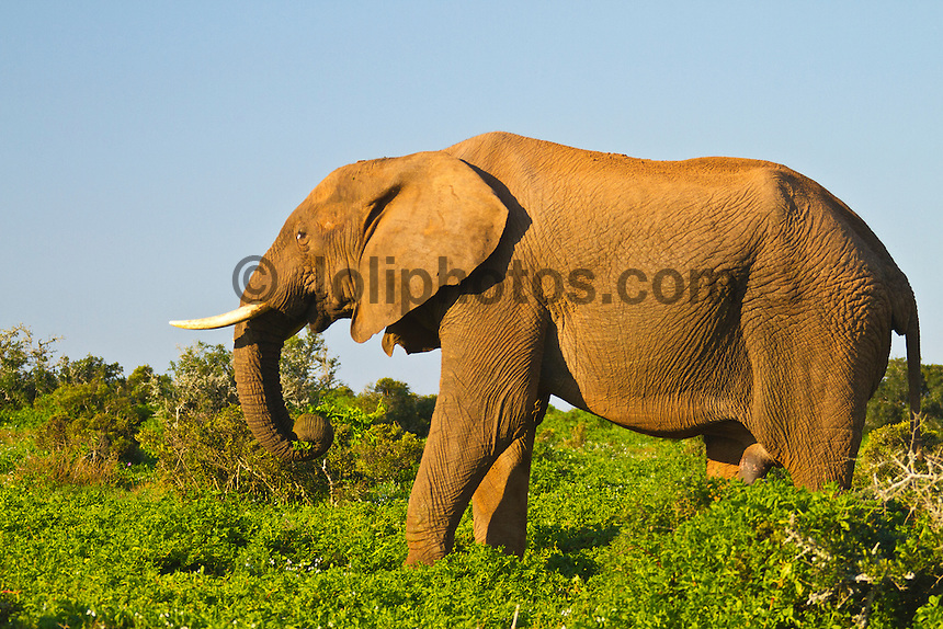 Port Elizabeth, South Africa (Sunday, July 17, 2011) - A Bull Elephant. Addo Elephant National Park. The park is a sanctuary to a multitude of game species and abundant birdlife including over 500 Elephants, Lions, Black Rhinos, Buffalos, Leopards and Zebra.  Photo: joliphotos.com