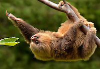 Baby Hoffman's Two-toed Sloth (Choloepus hoffmanni)