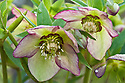 Helleborus x hybridus 'Pale Picotee', late February.