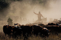 Single cowboy driving cattle through early morning dust, swinging rope high in a round loop, a near silhouette image, with little detail in the dark cattle images or cowboy's face, and dust obscuring dense green tree foliage beyond old wooden fence.