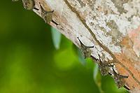 Long-nosed bat, Tortuguero, Costa Rica, Central America.