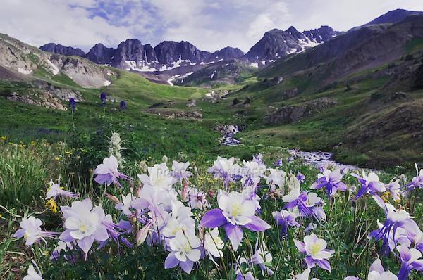 Mountains and wildflowers in alpine meadow,Blue Columbine,Colorado Columbine,Aquilegia coerulea, Tall Larkspur, Ouray, San Juan Mountains, Rocky Mountains, Colorado, USA, July 2007