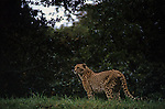 Cheetah standing looking out at Wildlife Safari Winston Oregon State USA