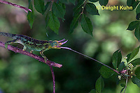 CH34-528z  Male Jackson's Chameleon or Three-horned Chameleon tongue flicking to catch insect prey, Chamaeleo jacksonii