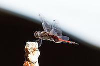 Dragonfly, S Mission Beach, Queensland, Australia