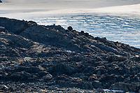 Polar bear forages for food, Svalbard