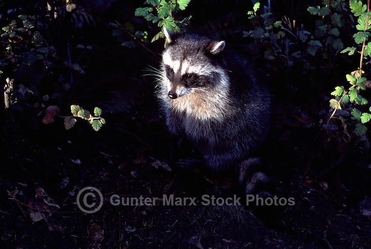 Wild Raccoon (Procyon lotor) standing in Shaft of Light