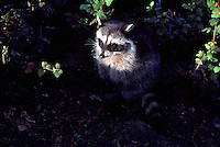 Wild Raccoon (Procyon lotor) standing in Shaft of Light