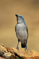 551130012 a wild young mexican jay alphelocoma wollweberi drinks from a small pond in madera canyon green valley arizona united states