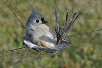 Tufted Titmouse in mist net for banding