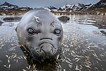 South Georgia Island, St. Andrews Bay, southern elephant seal weaner (Mirounga leonina)