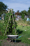 Beans in an allotment and a wheel barrow.