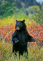 Black Bear stands to get a clear view of photographer..Autumn. Rocky Mountains..(Ursus americanus).