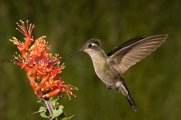 Magnificent Hummingbird female (Eugenes fulgens) feeding at Ocotillo flowers (Fouquieria splendens), Sonoran Desert, Arizona, USA.