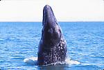 gray whale spy hops