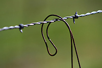 Curved, rusty wire hanging from a barbed wire fence outside of Willits in Mendocino County in Northern California.