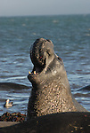 Bull elephant seal vocalizing