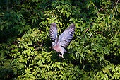 Wood Pigeon (Columba palumbus) Taking off after feeding on leaves. Its flight is quick, performed by regular beats, with an occasional sharp flick of the wings, characteristic of pigeons in general. It takes off with a loud clattering. Pigeons enjoy flights in strong winds, and it seems for pleasure.