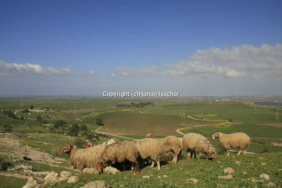 Israel, Shephelah. A flock of sheep at Tel Zafit, identified as Gath, one of the ancient Canaanite and Philistine five cities (along with Gaza, Ekron, Ashkelon, and Ashdod)