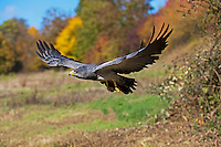 Black-chested Buzzard-Eagle (Geranoaetus melanoleucus) in flight. Captivity.