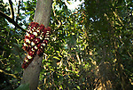 Stinging Flag Moth Caterpillars, Arctiidae species, wide angle, grouped together on tree trunk in rainforest, Manu, Peru, red and yellow stripes, colourful, . .South America....
