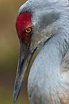 Sandhill crane, George C. Reifel Migratory Bird Sanctuary, British Columbia, Canada