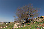 T-105 Terebinth tree on Mount Meron