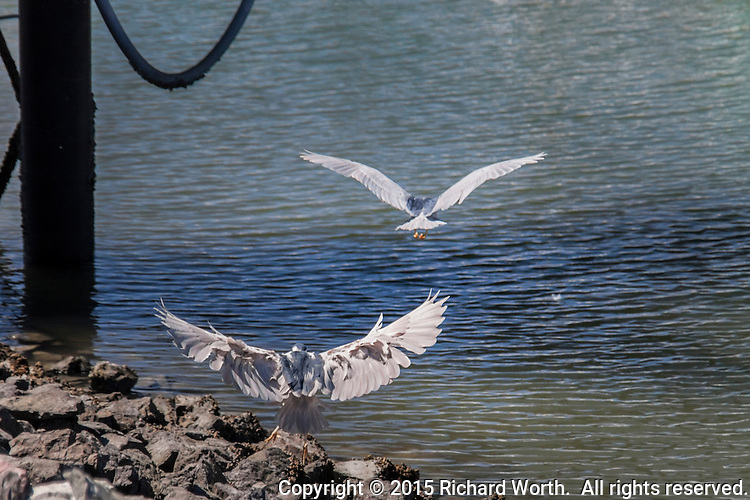 In an apparent territory dispute one Black-crowned night heron challenges another prompting it to take flight in retreat.
