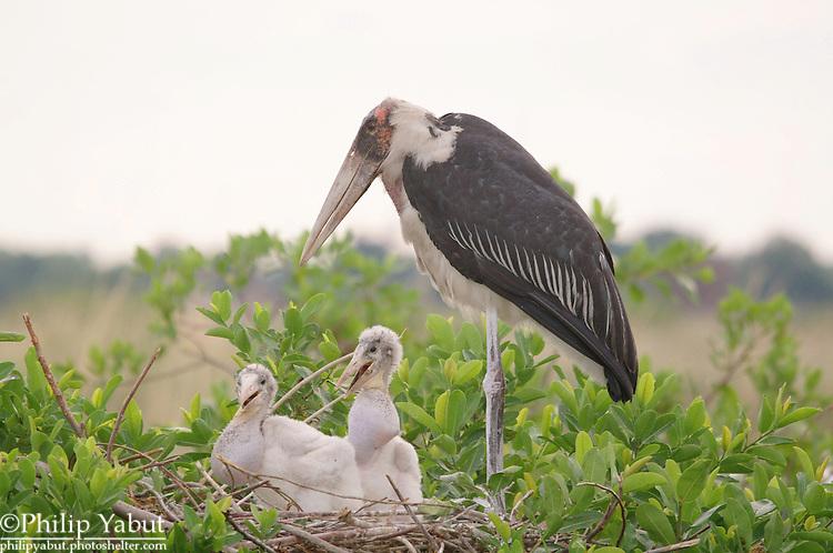 Marabou stork (Leptoptilos crumeniferus), Moremi Reserve, Okavango Delta, Botswana