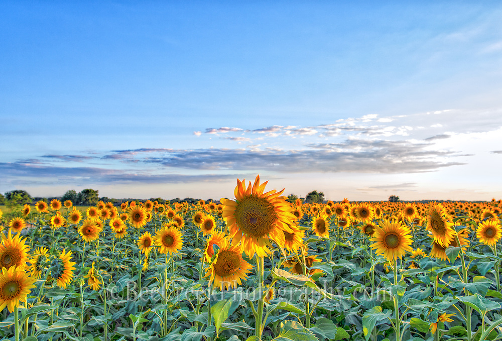 We love the way the sun was backlighting the giant sunflowers in this farmers field  along the Texas Highway.