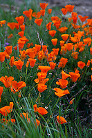 California poppies on a hill above the bike trail along the California Aqueduct near the Bethany Reservoir.