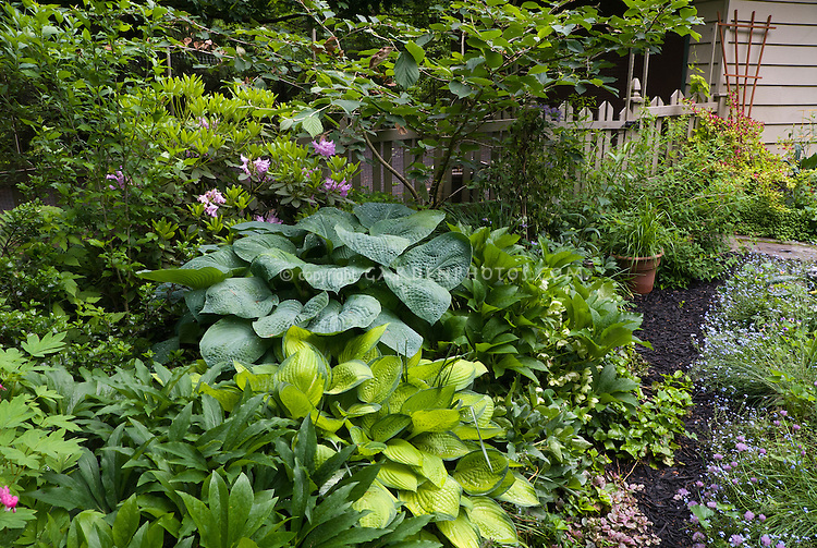 Shade garden view scene with hostas Blue Mammoth and Paul's Glory, helleborus, rhododendron house, picket fence, Dicentra, , Ajuga, Myosotis forget-me-nots, chives in late spring June bloom