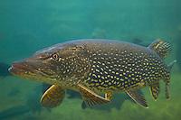 Pike (Esox lucius), captive, Switzerland<br /> Hecht (Esox lucius), Aquariumaufnahme, Schweiz<br /> Brochet (Esox lucius), en aquarium, Suisse<br /> 16-02-2009