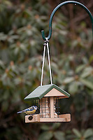 Blaumeise, Cyanistes caeruleus, Parus caeruleus an einem Futterhäuschen mit Fettfutter, Vogelfutter, Energiekuchen, blue tit