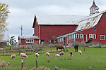 Red barn with sheep in Monkton, VT, USA